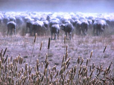 sheep and wheat.JPG